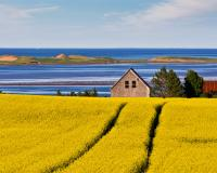 Canola Fields on Prince Edward Island